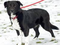 Border Collie - Kobe - Large - Young - Male - Dog Kobe