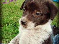 Border Collie - Lacy - Small - Baby - Female - Dog For