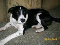 Border Collie - Lennon - Medium - Young - Male - Dog
