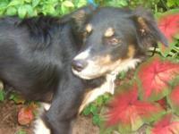 Border Collie - Leroy - Medium - Baby - Male - Dog
