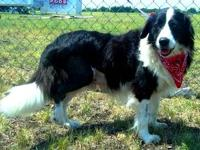 Border Collie - Lester - Medium - Adult - Male - Dog
