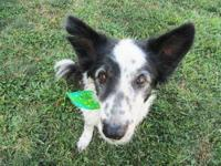 Border Collie - Lu Lu - Medium - Adult - Female - Dog