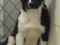 Border Collie - Lucky - Medium - Baby - Female - Dog
