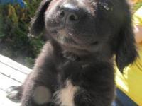 Border Collie - Lucy Lou - Medium - Baby - Female -