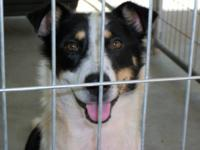 Border Collie - Maggie - Small - Adult - Female - Dog