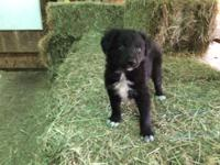 ABCA Registered Border Collie Pups. Born February 27th