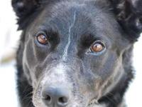 Border Collie - Marlo - Medium - Adult - Male - Dog