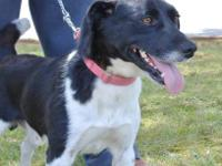 Border Collie - Milo - Medium - Adult - Male - Dog This