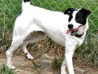 Border Collie - Mrs. Dog-120758 - Medium - Adult -