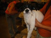 Border Collie - Myrtle - Medium - Baby - Female - Dog