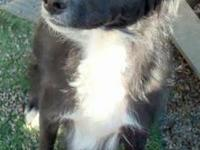 Border Collie - Nikita ~great Energy For Hiking Or