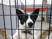 Border Collie - Oreo - Medium - Young - Male - Dog My