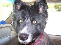 Border Collie - Peanut - Large - Adult - Male - Dog