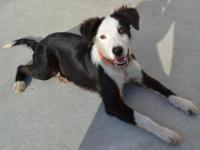 Border Collie - Pirate - Medium - Young - Male - Dog