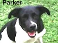 Border Collie - Pongo - Medium - Young - Male - Dog
