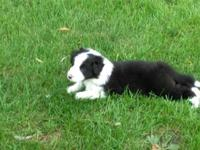 Male Border collie pup well be eight weeks old Friday