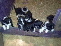 border collie pups 8 weeks old shots/wormed beautiful