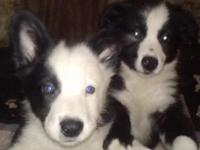 I have 9 week old Border Collie young puppies for sale,