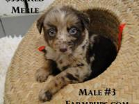 Cute, sweet, and sociable border collie puppies from
