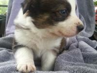 Border collies! ABCA registered. Rare brindle color.