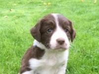 Border Collie puppies from working Sire and