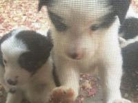 I have 3 lovely male young puppies for sale. They are
