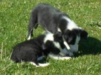 I have 2 lovely male Border collie puppies. They are