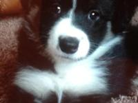 For sale purebred border collie puppies. Top quality,