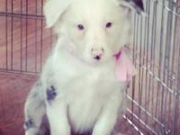 Purebred female border collie puppies for sale. Up to