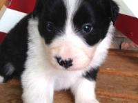 Border Collie puppies for sale. Experienced breeder,