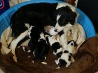 Purebred Border Collie puppies. LAST LITTER! Amazing