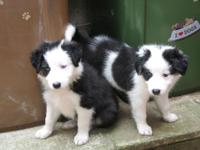 Border Collie puppies Our puppies are available and