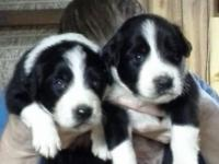 Born on July 28, 2015 These wonderful puppies will be