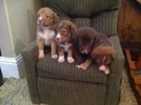 RARE BORDER COLLIE PUPPIES CHOCOLATE & RED  BOTH