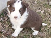 Border Collie Puppies for Sale,Registered/registerable,