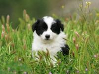 I have 5 Border Collie puppies! 4 females and 1 male