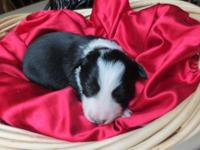 Healthy, vigerous border collie puppies Male . Born