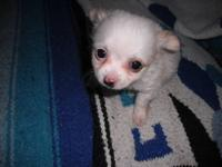 Border Collie puppy for sale. Male was eight weeks old
