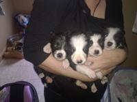 BOUNDARY COLLIE PUPPIES Available For Sale !!!! WE have