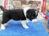 Lovely purebred Border Collie puppies! Whether you are