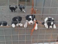 Last litter of this breeding, 4 boys (3 sold), 2
