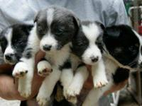 Border Collie - Puppies - Medium - Baby - Female - Dog
