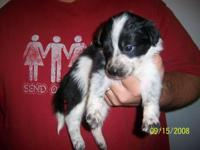 Description Border collie Puppies for sale; purebred;