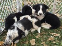 Beautiful litter of border collie pups ready for their