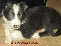 I have 5 border collie young puppies born 11/8/14.