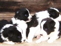 Puppies were born 10/7/15, they are black/white in