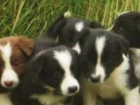 Border Collie Puppies Birth date 6/13. If you would