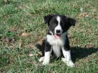 Female Border Collie pup for sale to pre approved good