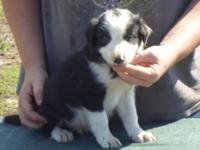 have 2 gorgeous male Border collie young puppies. They