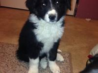 I have a gorgeous purebred female border collie pup